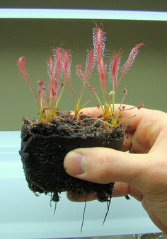 Carnivorous Plants Sundews Babies Cultivating