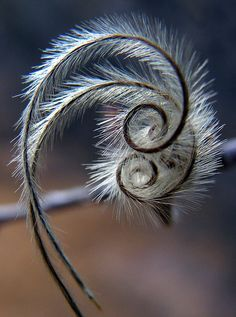 Mountain mahogany seeds. Waiting to fly by speech path girl, via Flickr