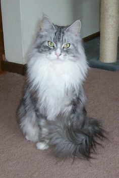 Black silver classic tabby with white Maine Coon....looks almost exactly like my kitty :-)