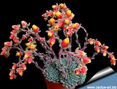 Echeveria setosa var. deminuta www.cactus-art.biz