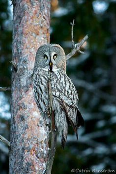 Great Grey Owl North Sweden 17/01/07