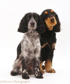 Dogs: Pair of Cocker Spaniels photo - WP32121
