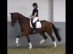 2012 Hanoverian mare 16.3 hh 1st level price range I