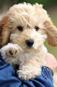 Cute fluffy little dog Dogs = Trouble Pinterest Dog