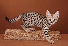 Savannah Cat... Gorgeous!