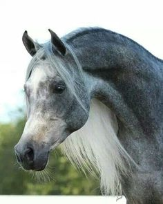what a beautiful grey Arab!