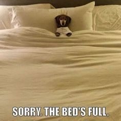 A dachshund's thoughts on going to bed at night.
