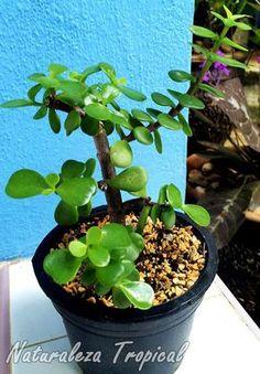 Te presentamos el árbol de la abundancia, ¡la suculenta que nos hará ricos!