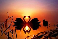 Amazing and funny pictures and videos from around the world: funny animals, beautiful nature scenery, universe etc, etc, etc. Beautiful Swan, Beautiful Birds, Beautiful World, Animals Beautiful, Cute Animals, Wild Animals, Heart In Nature, Nature Sauvage, Tier Fotos