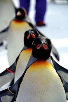 Penguins' march by Howard Cute Creatures, Sea Creatures, Beautiful Creatures, Penguin Life, King Penguin, Baby Animals, Cute Animals, Penguin Pictures, Blue Footed Booby