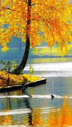 Autumn, Lake with golden tree Autumn Lake, Autumn Scenery, Fall Pictures, Pretty Pictures, Nature Pictures, Beautiful World, Beautiful Places, Belle Photo, Wonders Of The World