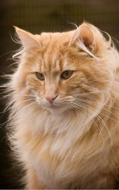 maine coon marmalade tabby // cheetoh had so much fur he was probably this kind