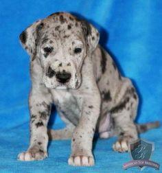 harlequin great dane puppy:)