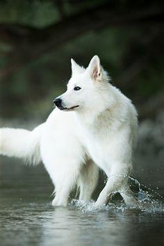 Beautiful Dogs, Animals Beautiful, Cute Animals, White Swiss Shepherd, White Husky, Wolf Spirit Animal, Wolf Pictures, Doberman Pinscher, Akita Dog