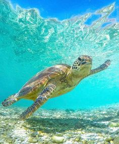 Whilst Heron Island is home to a population of about turtles year-round, even more come to the island in August and September to… Save The Sea Turtles, Baby Sea Turtles, Cute Turtles, Ocean Turtle, Turtle Love, Sea Turtle Pictures, Sea Turtle Images, Tier Wolf, Ocean Creatures