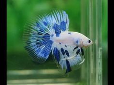 Betta Splendens - Fry [2° part]