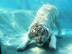 Amazing High Speed Photography of Diving Tigers