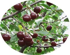 dwarf hardy cherries - zone 3 (some say zone 2!) - all the important articles from the University of Saskatchewan research are at this link!  Great info on the romance series: juliet, crimson passion, carmen jewel, romeo, valentine, cupid