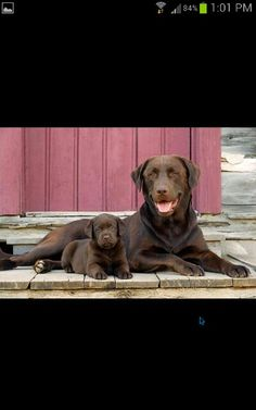 Chocolate labs are so beautiful