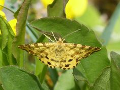 Speckled yellow moth, Mullaghmore, May 2015.