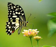 Colourful creatures: Read more about the butterflies. Photo: K.R. Deepak