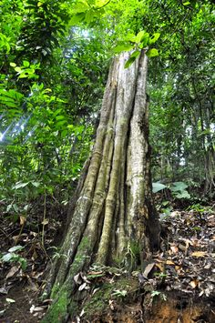 Beautiful tree in our private jungle. #costarica #hiking