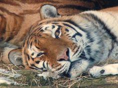 Panoramio - Photos by kuchipi Tiger
