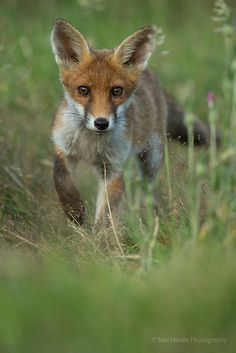Red Fox by naturenev - Neil Neville