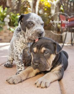 Higgins and Radar, 5-week-old Shar Pei mix male puppies, available soon at Aussie and Others Rescue San Diego