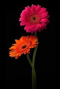 Photographic Print: Pink, Orange Gerbera with Stem Isolated on Black by Hanna Slavinska : Flores Wallpaper, Flower Phone Wallpaper, Exotic Flowers, Pretty Flowers, Colorful Flowers, Purple Flowers, Beautiful Flowers Pictures, Flower Pictures, Daffodils