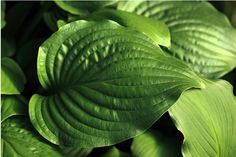 How to grow and care for Hosta