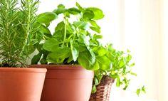 Cómo cultivar hierbas aromáticas