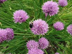 welsh hills again: My herb garden
