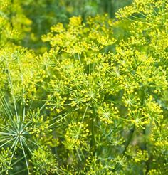 Bouquet Dill has fernlike leaves are aromatic and are used to flavor many foods, such as gravlax (cured salmon), borscht and other soups, and pickles (where the dill flower is sometimes used). Garden Seeds, Types Of Herbs, Herb Seeds, Planting Bulbs, Herbs, Organic Seeds, Plants, Lawn And Garden, Organic Herbs