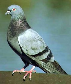 Columba livia - All park pigeons are in fact feral domestic pigeons derived from the Indian Rock Dove imported from Europe with the pioneers.