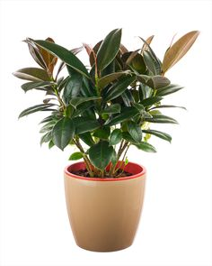 Also known by its scientific-yet-catchy name, ficus elastica, this plant is one of our favorites to be found in houses around the world. First of all, it's best to purchase a young rubber plant so that it will become acclimated to indoor life; it's more difficult to transition a mature plant from outside to in. With just a little bit of water and some attention paid to sunshine time, this plant will thrive and grow large in your home.