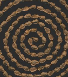 Asclepias seed spiral