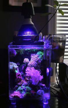 Andrew Kwon's Saltwater Aquarium #aquarium #saltwater #coral