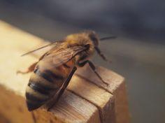 One of our busy bees - Bienenhaltung Imkerei Berlin Bienen Honig