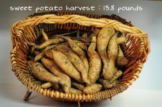 Sweet Potatoes - how to plant, maintain & harvest sweet potatoes.  This post shows how these potatoes were grown in containers.