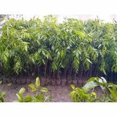 We are a leading organization involved in offering Ornamental Plant of best quality and range to our clients.