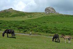 Dartmoor, England.  The ponies roam wild.  I used to take long walks on these moors