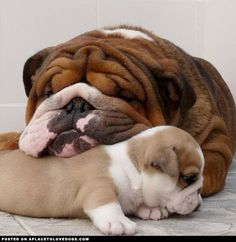 adorable bull dog and puppy