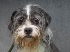Adopt Evan, a lovely 4 years Dog available for adoption at Petango.com.  Evan is a Terrier / Shih Tzu and is available at the National Mill Dog Rescue in Colorado Springs, Co. www.milldogrescue... #adoptdontshop #puppymilldog #rescue #adoptyourfriendtoday