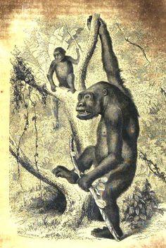 Ce grand #singe vit dans la forêt tropicale d'Afrique centrale sui couvre le Nord-Est du Gabon. Dans cette végétation dense, le géant des #primates peut atteindre 200 kilos et il est neuf fois plus puissant qu'un homme #numelyo #bestiaire #gorille #animal Agriculture, Primates, Lyon, Gorilla Gorilla, Tropical Forest, Natural History, Monkeys, Animaux, Primate