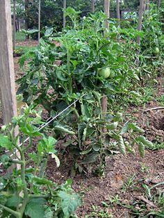 Ultimate Kitchen Garden - Lazy Man's Tomato Staking - Country Living I've seen this method used before.might try it this year. Tomato Garden, Garden Trellis, Garden Seeds, Lawn And Garden, Vegetable Garden, Growing Tomatoes In Containers, Growing Vegetables, Grow Tomatoes, Cherry Tomatoes