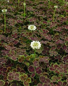 Midnight Shamrock' Four Leaf Clover Perennial -Trifolium - Stepables