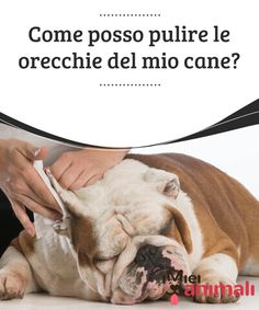 Come posso pulire le orecchie del mio cane?  Uno dei modi per mantenere sane le #orecchie dei vostri #animali è attraverso un buon processo #d'igiene. #Salute