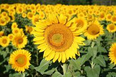 Sunflower fields, Yellow Springs, Ohio