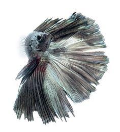 DSC_7878 | copper betta fish | visarute angkatavanich | Flickr